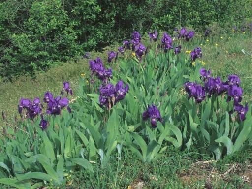 iris del parco n. abruzzi